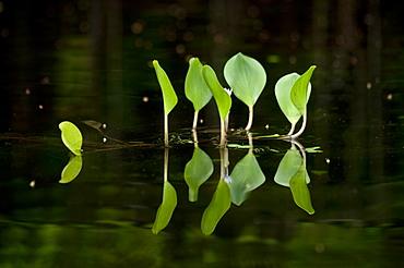 Reflection of plant leaves in lagoon, Amazonian region of Ecuador