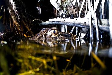 Black Caiman, night time in the Amazon, Ecuador.