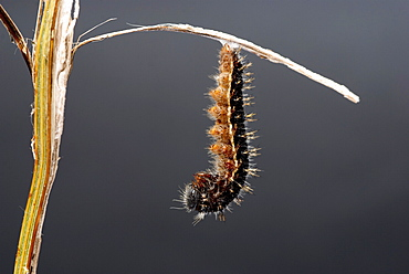 Painted lady caterpillar shortly before changing to chrysalis. It hangs itself upside down in this hooked position for around 24 hours. It continues to move throughout the 24 hours in gentle changes of position. . Isle of White, UK. Isle of White, UK