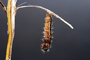 As the time to change gets nearer, the caterpillar begins to move more and more, sometimes shaking vigorously. The skin begins to split and the caterpillar sheds its skin in a concertina motion. . Isle of White, UK. Isle of White, UK