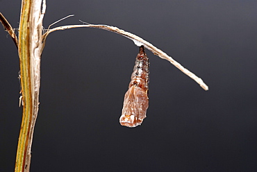 When the shed skin nears the tail, the newly formed chrysalis begins to shake very vigorously until the skin falls to the ground, then it settles down to form the butterfly within. The shape of the wings, anttenae and eyes can already be clearly seen. The process completes in seven to ten days. . Isle of White, UK. Isle of White, UK
