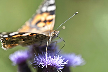 Painted Lady butterfly feeding. The life cycle is complete. . Isle of White, UK. Isle of White, UK - 978-416