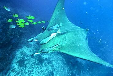 Mobula species Isla de la Plata, Ecuador, Machalilla National Park. Pacific Ocean, Ecuador