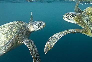 Green Sea Turtle (Chelonia mydas) near to the surface. Machalilla National Park, Ecuador. Pacific Ocean, Ecuador