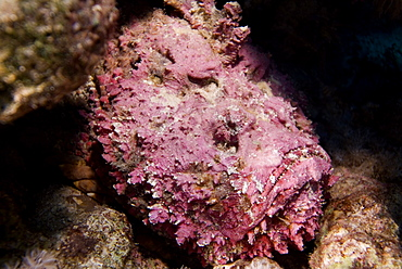 Stonefish (Synaceia verrucosa ) said to be the worldÌs most venomous fish. Found in many colours according to habitat. Probably also the worlds most adaptable camouflage system for a fish. Red Sea.