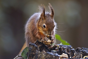 Red squirrel (Sciurus vulgaris) eating nuts in a wood, United Kingdom, Europe