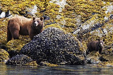 Coastal Brown Bear (Ursus arctos horibilis) mother with cubs foraging at low tide in Glacier Bay National Park, Southeast Alaska, USA.