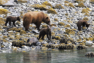 Coastal Brown Bear (Ursus arctos horibilis) mother with three cubs foraging at low tide in Glacier Bay National Park, Southeast Alaska, USA.