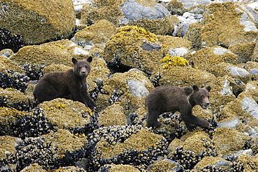 Coastal Brown Bear (Ursus arctos horibilis) cubs foraging at low tide in Glacier Bay National Park, Southeast Alaska, USA.