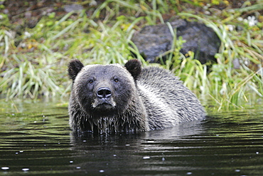 Adult coastal brown bear (Ursus arctos horibilis) fishing for pink slamon in a shallow stream on Chichagof Island, Southeast Alaska, USA.