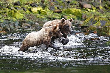 Coastal brown bear (Ursus arctos horibilis) mother and cub fishing for pink slamon in a shallow stream on Chichagof Island, Southeast Alaska, USA.