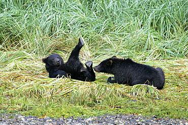 Coastal brown bear (Ursus arctos horibilis) cubs (born this year) playing near a shallow stream on Chichagof Island, Southeast Alaska, USA.