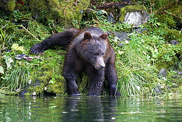 A young coastal brown bear (Ursus arctos horibilis) in an unusual position while fishing for pink slamon in a shallow stream on Chichagof Island, Southeast Alaska, USA.