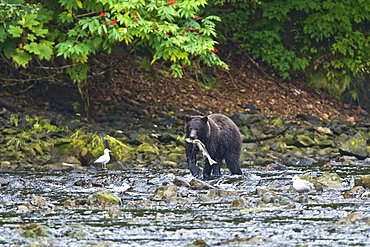 A young Brown Bear (Ursus arctos) fishing for pink and dog salmon on Chichagof Island in Southeast Alaska, USA