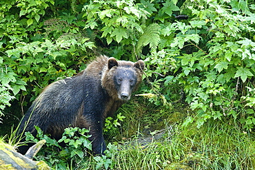 A young Brown Bear (Ursus arctos) scavenging and fishing along the banks of a salmon-filled stream in Red Bluff Bay on Baranof Island in Southeast Alaska, USA. Pacific Ocean.   (rr)