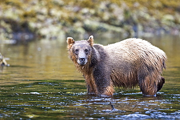 A young Brown Bear (Ursus arctos) scavenging and fishing for salmon along the beach on Chichagof Island in Southeast Alaska, USA. Pacific Ocean.