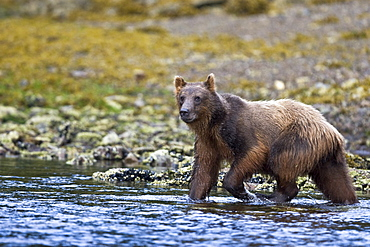 A young Brown Bear (Ursus arctos) scavenging and fishing for salmon along the beach on Chichagof Island in Southeast Alaska, USA. Pacific Ocean.   (rr)