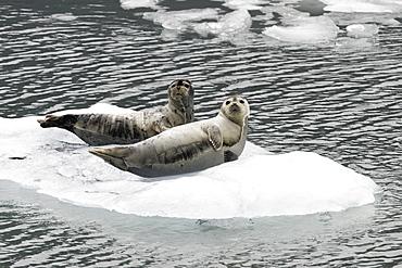 Harbor Seals (Phoca vitulina) on ice near Johns Hopkins Glacier in Glacier Bay National Park, Southeast Alaska, USA.