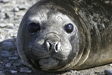 Young Southern Elephant Seal (Mirounga leonina) molting and hauled out in Antarctica.
