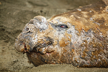 Adult bull Southern elephant seal (Mirounga leonina) hauled out and in a wallow while molting on the beach at Fortuna Bay on South Georgia Island, southern Atlantic Ocean.