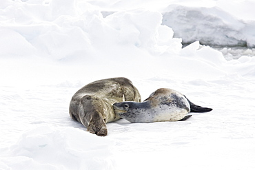 A mother and nursing newborn pup leopard seal (Hydrurga leptonyx) hauled out on ice floes, Antarctica.