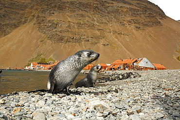 Antarctic fur seal (Arctocephalus gazella) pups at the abandonded whaling station at Stromness on the island of South Georgia, southern Atlantic Ocean.