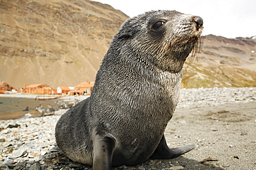 Antarctic fur seal (Arctocephalus gazella) pup at the abandonded whaling station at Stromness on the island of South Georgia, southern Atlantic Ocean.