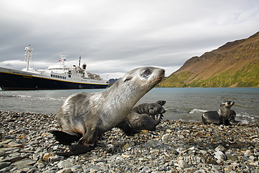 Antarctic fur seal (Arctocephalus gazella) pups in front of the National Geographic Endeavour at the abandonded whaling station at Stromness on the island of South Georgia. Atlantic Ocean.