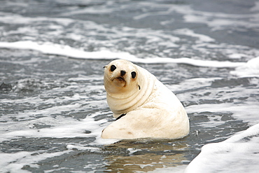 Antarctic fur seal (Arctocephalus gazella) pup playing in the surf at Fortuna Bay on the island of South Georgia, southern Atlantic Ocean