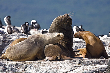 South American Sea Lion (Otaria flavescens) hauled out on small rocky islet just outside Ushuaia, Argentina