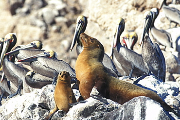 Mother and pup California Sea Lion (Zalophus californianus) hauled out among Brown Pelicans (Pelecanus occidentalis) on Isla San Pedro Martir in the Gulf of California (Sea of Cortez), Mexico.