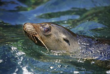 Galapagos sea lion (Zalophus wollebaeki) swimming in Gardner Bay on Espanola Island in the Galapagos Island roup, Ecuador. Pacific Ocean.