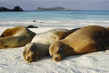 Galapagos sea lions (Zalophus wollebaeki) hauled out on the beach in Gardner Bay on Espanola Island in the Galapagos Island roup, Ecuador. Pacific Ocean.