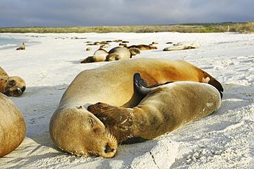 Mother and pup Galapagos sea lion (Zalophus wollebaeki) hauled out in Gardner Bay on Espanola Island in the Galapagos Island roup, Ecuador. Pacific Ocean.