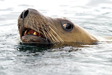 A curious young Steller Sea Lion (Eumetopias jubatus) head detail. Brothers Islands, Southeast Alaska, USA, Pacific Ocean.