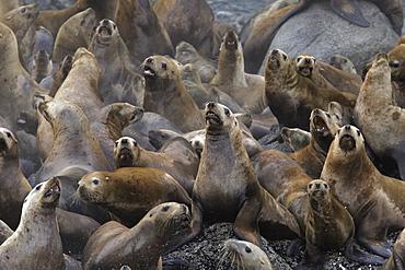 Steller (Northern) Sea Lions (Eumetopias jubatus) hauled out on small reef in Southeast Alaska, USA.