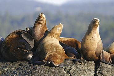 Steller (northern) sea lions (Eumetopias jubatus) hauled out in Southeast Alaska, USA. Pacific Ocean.