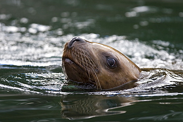 A young northern (Steller) sea lion (Eumetopias jubatus) from a colony on sail rock in Frederick Sound, southeastern Alaska