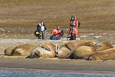 Photographers with adult male walrus (Odobenus rosmarus rosmarus) at Kapp Lee on the western side of EdgeØya (Edge Island) in the Svalbard Archipelago in the Barents Sea, Norway.
