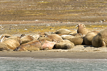 Adult male walrus (Odobenus rosmarus rosmarus) at Kapp Lee on the western side of EdgeØya (Edge Island) in the Svalbard Archipelago in the Barents Sea, Norway.