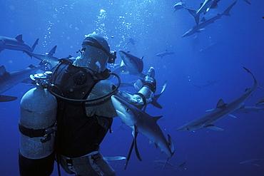 Blue Sharks (Prionace glauca) massing in deep water around shark diver Bob Cranston. San Clementa Island, California, USA. Pacific Ocean. Model released.