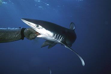 Blue Shark, Prionace glauca, off San Clemente Island, California