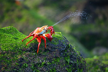 Sally lightfoot crab (Grapsus grapsus) expelling excess saltwater in the litoral of the Galapagos Island Archipeligo, Ecuador.    (RR)