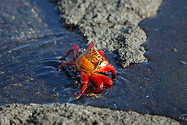 Sally lightfoot crab (Grapsus grapsus) in the litoral of the Galapagos Island Archipeligo, Ecuador.