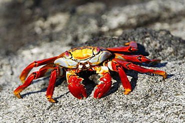 Sally lightfoot crab (Grapsus grapsus)close up showing magnificent red coloration in the litoral of the Galapagos Island Archipeligo, Ecuador.
