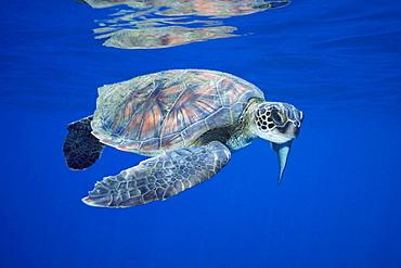 Pacific Green Sea Turtle (Chelonia mydas)Hawaii.