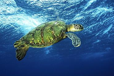 Pacific Green Sea Turtle (Chelonia mydas) surfacing aff Olowalu, Maui, Hawaii. Pacific Ocean