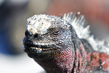 The endemic marine iguana (Amblyrhynchus cristatus) head detail in the Galapagos Island Group, Ecuador