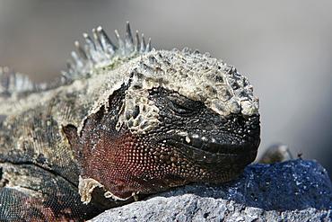 The endemic marine iguana (Amblyrhynchus cristatus) in the Galapagos Island Group, Ecuador