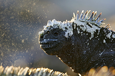 "The endemic marine iguana (Amblyrhynchus cristatus) ""sneezing"" to remove excess salt in the Galapagos Island Group, Ecuador"